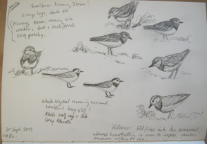 Wagtails and Turnstones
